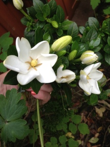 This super fragrant gardenia makes a perfect small shrub for my small garden.